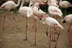 Imagem detalhada de flamingos de relaxamento coloridos Foto de Stock