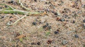 Imagem detalhada e vivo de uma parte inferior da floresta com o pinho seco nee fotos de stock royalty free