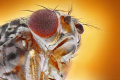 Macro da mosca de fruto foto de stock royalty free