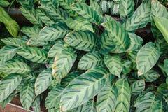 Imagem do alberti de Calathea em um jardim botânico imagem de stock royalty free