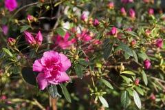 Imagem do arbusto da azálea no jardim botânico imagem de stock royalty free