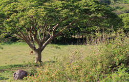 Imagem do campo de pastagem aberto com as árvores e as vacas de máscara que pastam Foto de Stock Royalty Free