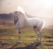 Imagem do cavalo branco majestoso Imagem de Stock