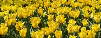 Imagem do close-up bonito das tulipas das flores Fotos de Stock