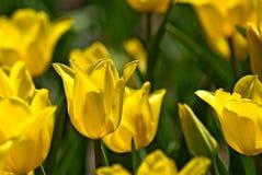 Imagem do close-up bonito das tulipas das flores Foto de Stock