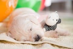Imagem do close-up do cachorrinho bonito do golden retriever que dorme com pouco urso de peluche na cobertura imagens de stock royalty free