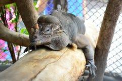 Imagem do close up da iguana. Fotografia de Stock