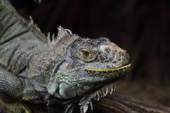 Imagem do close up da iguana. Fotos de Stock