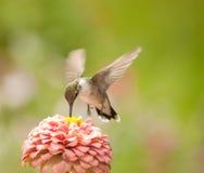 Imagem do close up de uma alimentação minúscula do colibri Fotografia de Stock Royalty Free
