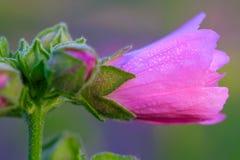 Imagem do close-up de uma flor da malva rosa Imagens de Stock Royalty Free