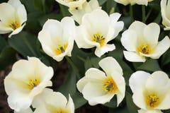Imagem do close-up de uma tulipa branca com um meio amarelo fotografia de stock royalty free