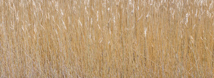 Imagem do close-up do junco Foto de Stock Royalty Free
