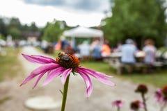 Imagem do close up em uma flor do echinacea fotos de stock