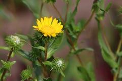 Imagem do close up do Grindelia do Gumweed no jardim orgânico O Grindelia tem um efeito de acalmação ele eficaz no natural Foto de Stock