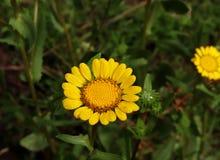 Imagem do close up do Grindelia do Gumweed no jardim orgânico O Grindelia tem um efeito de acalmação ele eficaz no tratamento nat Imagem de Stock