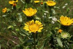 Imagem do close up do Grindelia do Gumweed no jardim orgânico O Grindelia tem um efeito de acalmação ele eficaz no tratamento nat Foto de Stock