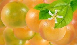 Imagem do close up maduro delicioso de muitas laranjas fotografia de stock royalty free
