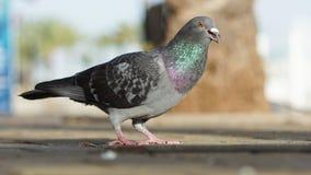 Imagem do close up do pombo da rua que está na terra de pedra Fotografia de Stock Royalty Free