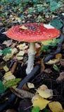 Imagem do cogumelo do agaric de mosca Imagem de Stock Royalty Free