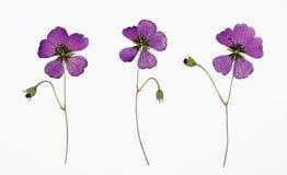 Imagem do cranesbill armênio secado do psilostemon do gerânio das flores em diversas variações Fotografia de Stock Royalty Free