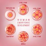 Imagem do desenvolvimento do embrião ilustração stock