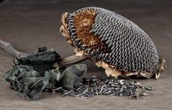 Imagem do estilo velho do girassol morrido fotografia de stock
