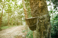 imagem do foco seletivo do látex extraída da árvore da borracha para indústrias da borracha natural Fotografia de Stock
