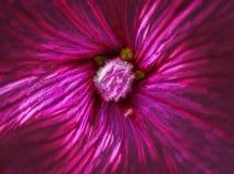 Imagem do Fractal de uma malva cor-de-rosa ilustração royalty free