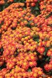 Imagem do fundo de flores alaranjadas Foto de Stock