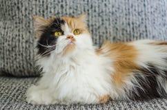 Imagem do fundo do persa do gato do nome do cGucci Imagens de Stock
