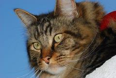 Imagem do gato Imagens de Stock Royalty Free