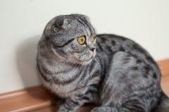 Imagem do gato do dun que senta-se no assoalho ao lado da parede Imagem de Stock