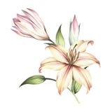 A imagem do lírios Ilustração da aquarela da tração da mão Foto de Stock