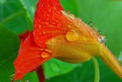Imagem do macro da flor da chagas Foto de Stock Royalty Free