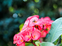 A imagem do milli Desmoul do eufórbio e da abelha Imagem de Stock Royalty Free