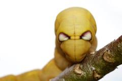 Imagem do nerii de Daphnis da Falcão-traça do oleandro de Caterpillar Foto de Stock