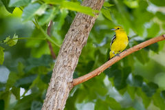 Imagem do papa-moscas Verde-suportado pássaro; Elisae de Ficedula foto de stock