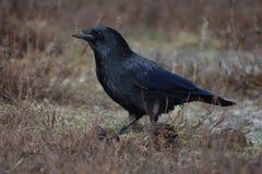 Imagem do perfil do corvo que come a merda Foto de Stock Royalty Free