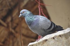 Imagem do pombo de direção, pombo doméstico, domestica de Columba Livia, pombo de rocha imagens de stock