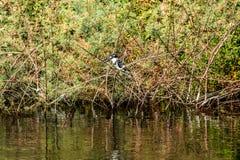 Imagem do rei Pied Fisher Bird que está calmamente nos bancos do Nile River em Aswan Egito imagem de stock