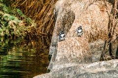 Imagem do rei Pied Fisher Bird que est? calmamente nos bancos do Nile River em Aswan Egito fotos de stock royalty free