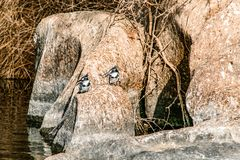 Imagem do rei Pied Fisher Bird que est? calmamente nos bancos do Nile River em Aswan Egito foto de stock royalty free