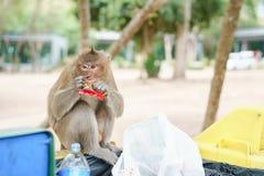 Imagem do retrato do macaco que come doces o escaninho no ambiente natural O macaco está engraçado e feliz e aprecia comer imagens de stock royalty free