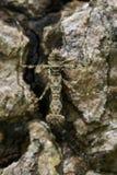 Imagem do sp de Liturgusa da louva-a-deus da casca Camouflaged imagem de stock