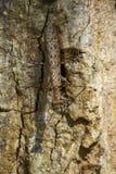Imagem do sp de Liturgusa da louva-a-deus da casca Camouflaged na árvore inseto foto de stock
