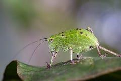 Imagem do Tettigoniidae dos gafanhotos da ninfa de Katydid Fotos de Stock Royalty Free