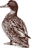 Pato bonito Imagens de Stock