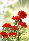 Imagem dos cravos no close-up do jardim Foto de Stock Royalty Free