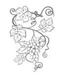 Imagem dos grupos das uvas Imagens de Stock