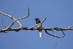 Imagem dos pássaros empoleirados no ramo Imagens de Stock